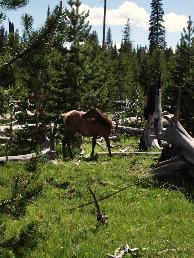 Female Elk (2)