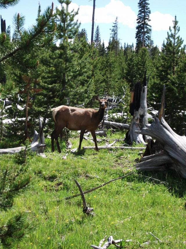 Female Elk (3)