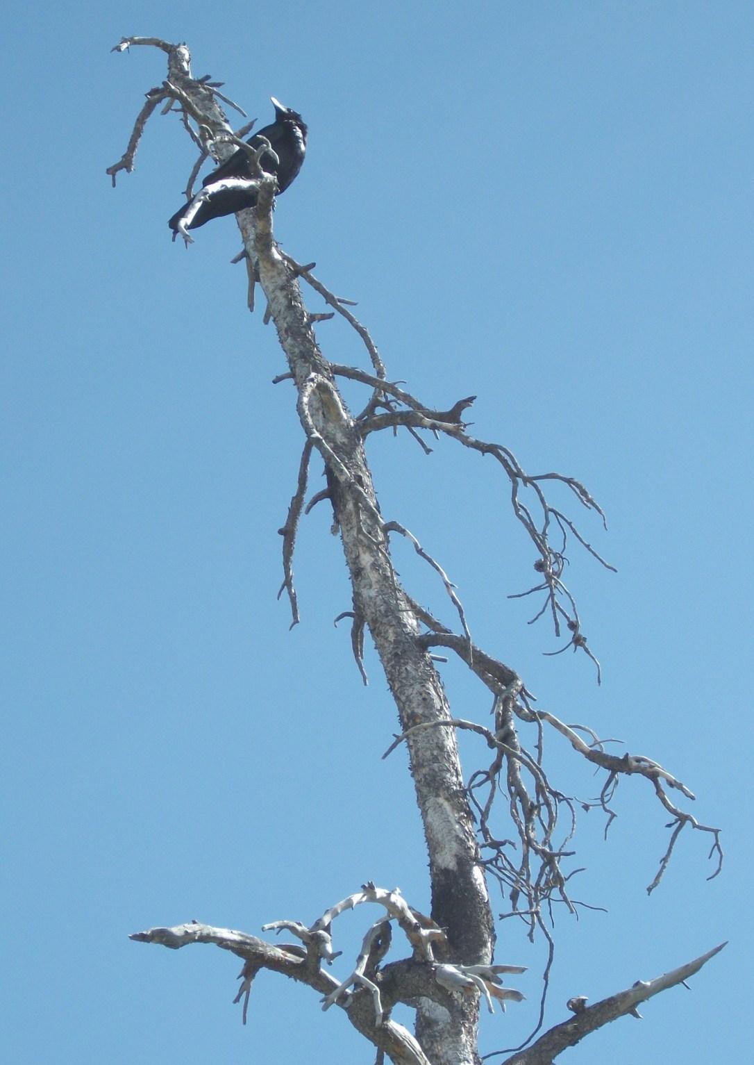 Raven (2)