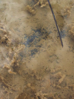 These tiny specks are literally hundreds of just hatched boreal toad tadpoles.