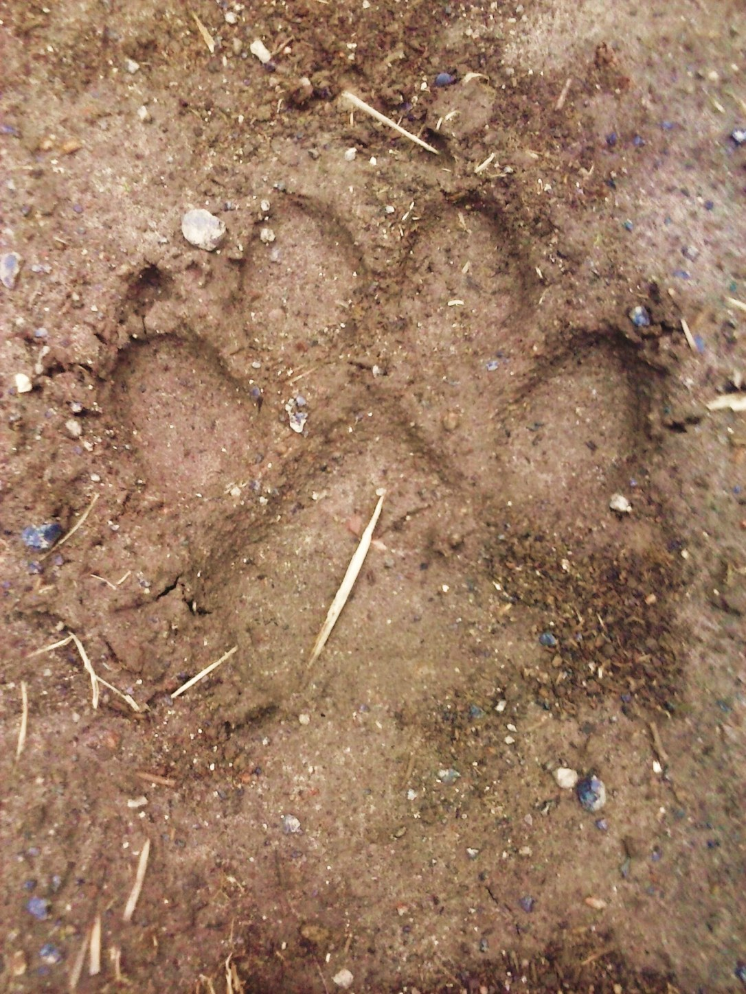 A very large wolf print.