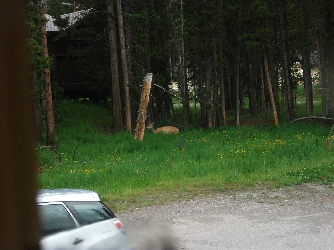 Mule deer outside dorm