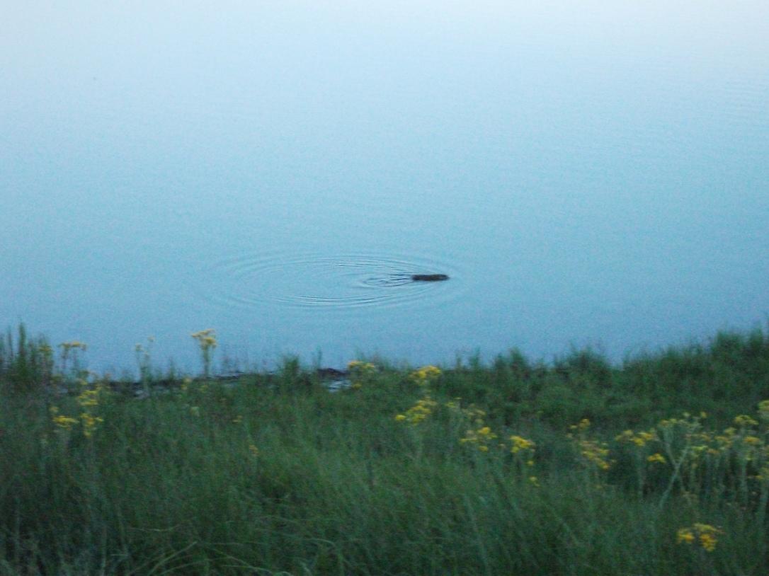 Muskrat in Indian Pond