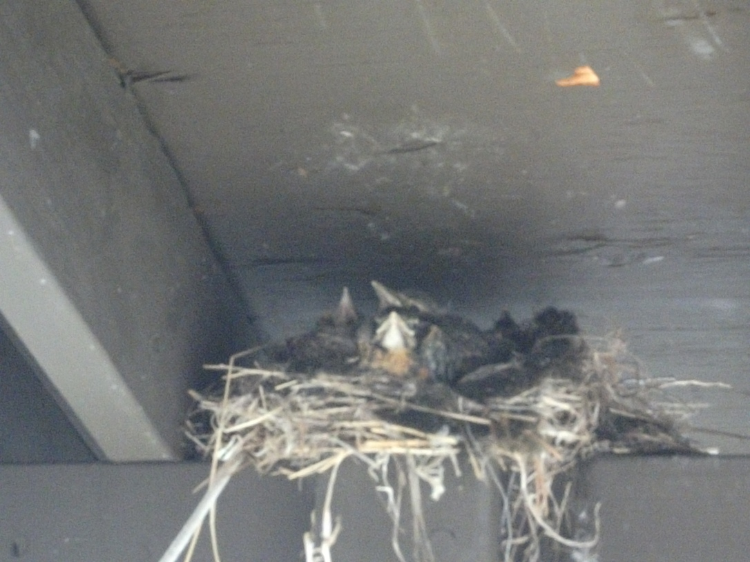 Robin babies