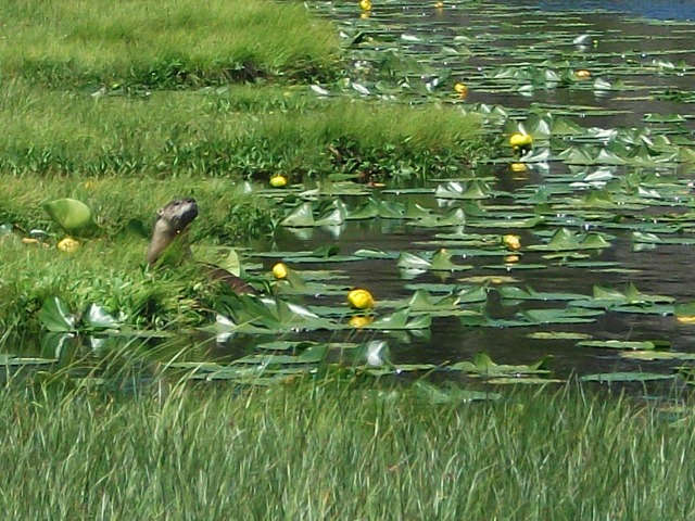 River Otter at Solfatara 1