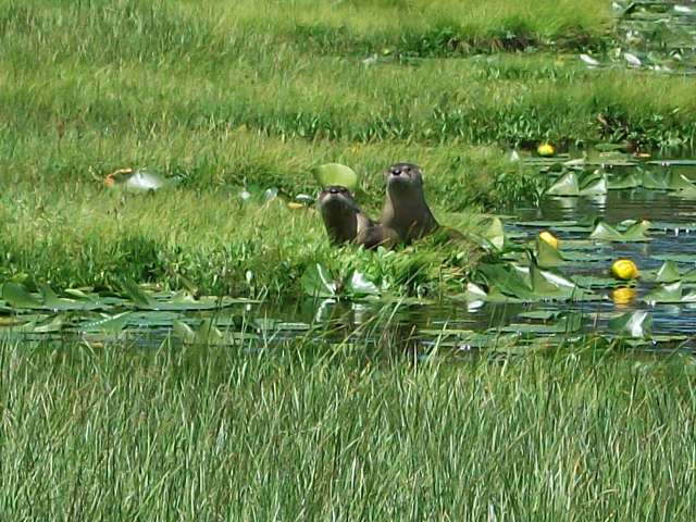 River Otters at Solfatara