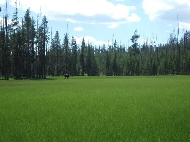 Tanger Lake juv moose 1