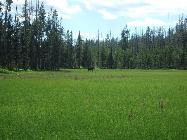 Tanger Lake juv moose 2