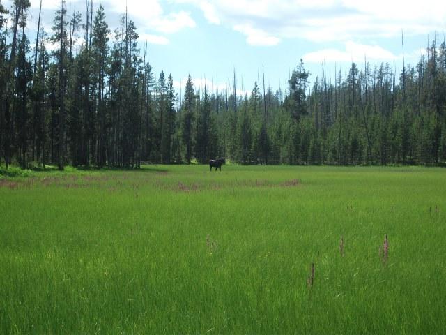 Tanger Lake juv moose 2