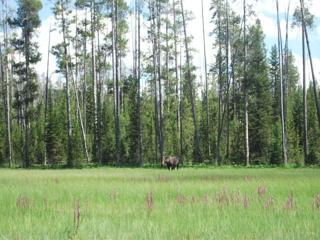 Tanger Lake juv moose 5