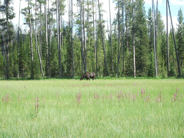 Tanger Lake juv moose 6