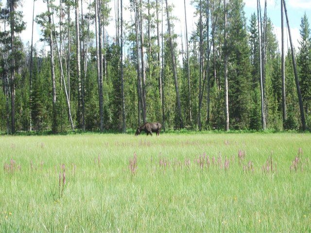 Tanger Lake juv moose 6