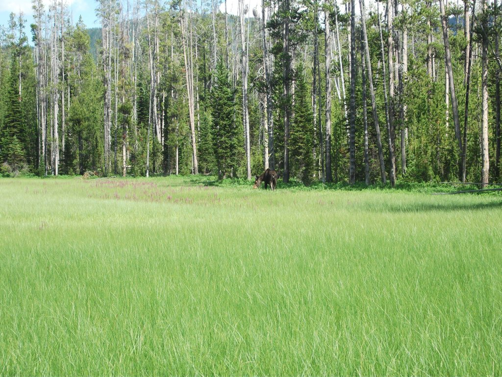 Tanger Lake juv moose 7