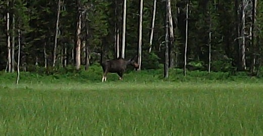 Tanger Lake juv moose meets baby