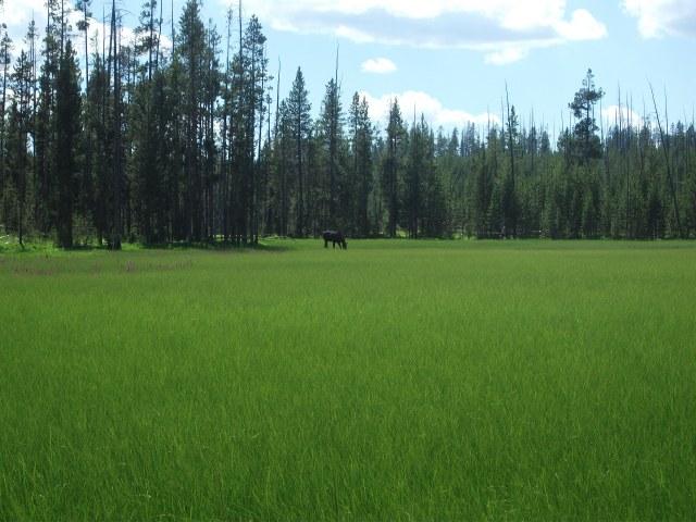 Tanger Lake juv moose